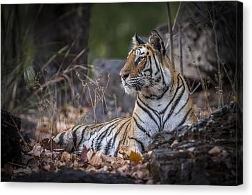 Bengal Tiger Canvas Print by Hitendra SINKAR