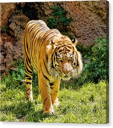 Bengal Tiger Canvas Print by Jon Woodhams