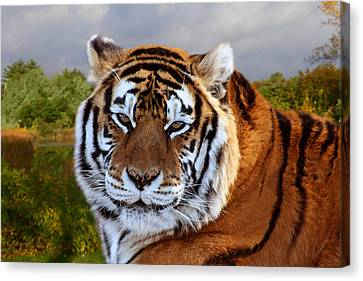 Bengal Tiger Portrait Canvas Print
