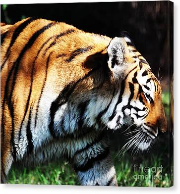 Bengal Tiger Canvas Print by Rose  Hill
