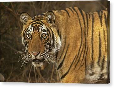 Bengale Tiger Canvas Print