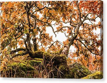 Bent Oak Canvas Print by Claude Dalley