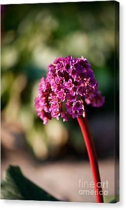 Bergenia Flowering Plant In Spring Canvas Print