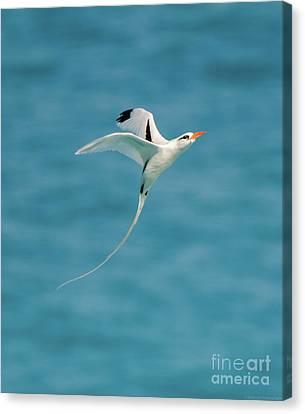 Bermuda Longtail S Curve Canvas Print by Jeff at JSJ Photography