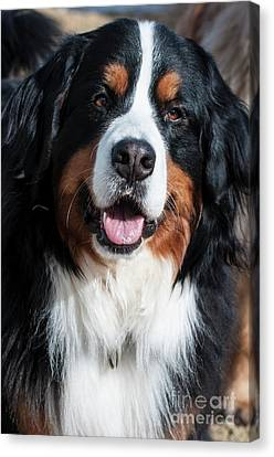 Canvas Print featuring the photograph Bernese Mountain Dog Portrait  by Gary Whitton