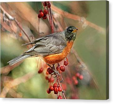 American Robin Canvas Print - Berries On The Menu by Donna Kennedy