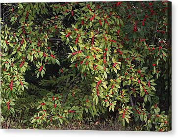 Berry Spread Canvas Print