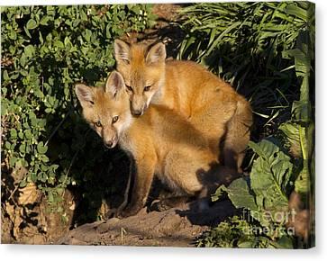 Fox Kit Canvas Print - Best Friends by John Blumenkamp