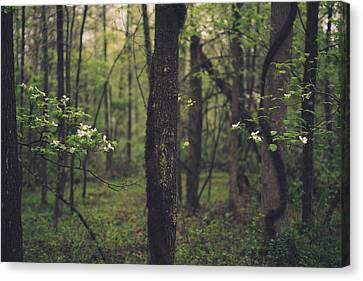 Between The Dogwoods Canvas Print by Shane Holsclaw