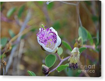 Beutiful Wild Cactus Flower Canvas Print by Matanel Kaye