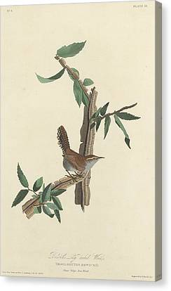 Wren Canvas Print - Bewick's Long-tailed Wren by Dreyer Wildlife Print Collections