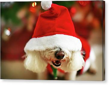 Bichon Frise Dog In Santa Hat At Christmas Canvas Print by Nicole Kucera