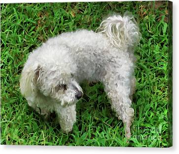 Bichon Frise On A Green Grass Outdoors Canvas Print
