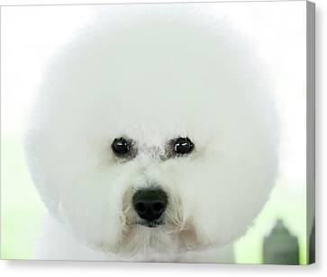 Bichon Frise Show Dog Canvas Print