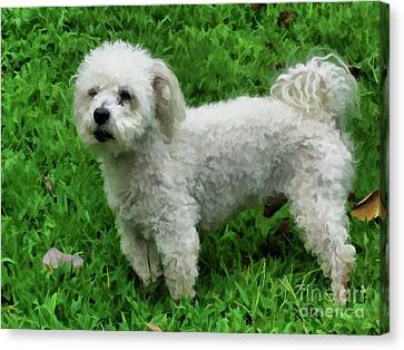 Bichon Standing On Green Grass Canvas Print