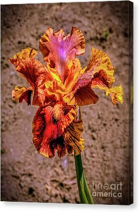 Bicolor Beauty Canvas Print by Robert Bales