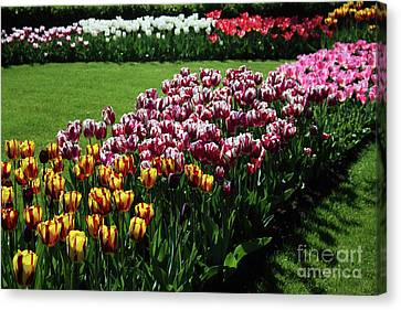Multicolor Tulips Canvas Print