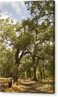 Bidwell Park Oak Tree Canvas Print