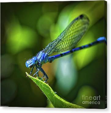 Big Blue Eyes Damselfly  Canvas Print
