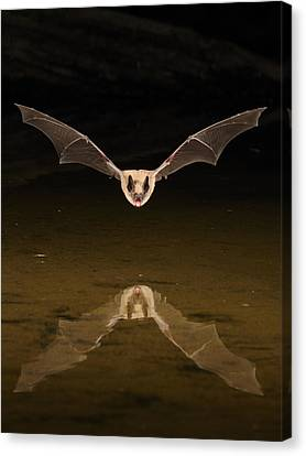 Big Brown Bat Reflection Canvas Print by Scott  Linstead