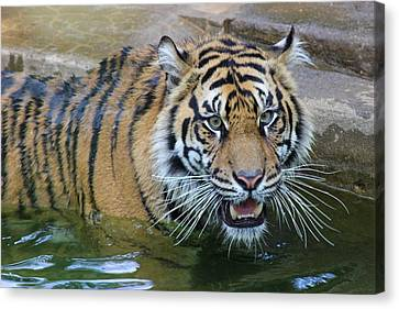 Canvas Print featuring the photograph Big Cat by Elizabeth Budd