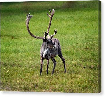Big Horn Canvas Print by Anthony Jones