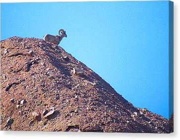 Big Horn On The Mountain Canvas Print