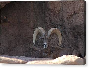 Canvas Print featuring the photograph Big Horn Ram by Daniel Hebard