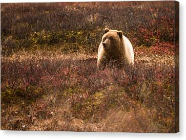 Big Hungry Grizzly Canvas Print