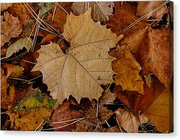 Canvas Print featuring the photograph Big Leaf Maple by Monte Stevens