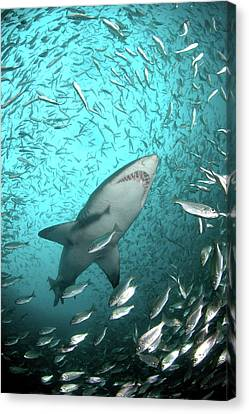 Big Raggie Swims Through Baitfish Shoal Canvas Print by Jean Tresfon