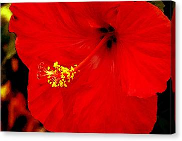 Big Red Caribbean Hibiscus Canvas Print by Leonard Rosenfield
