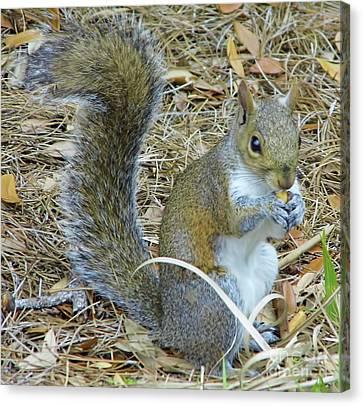 Bushy Tail Canvas Print - Big Tail Little Nut by D Hackett