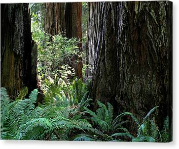 Big Trees And Ferns Canvas Print by Jim Nelson