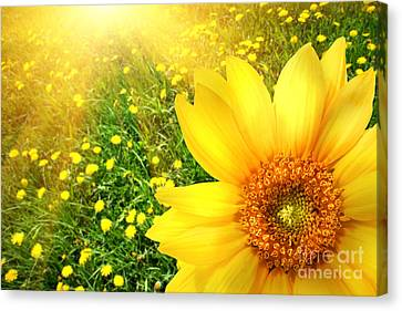 Big Yellow Sunflower  Canvas Print by Sandra Cunningham