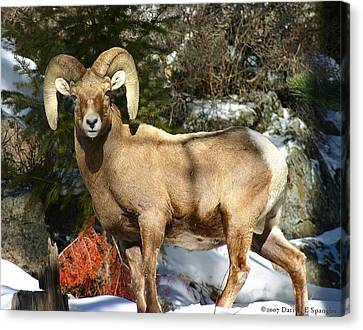 Canvas Print featuring the photograph Bighorn Ram by Perspective Imagery