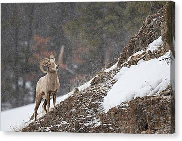 Bighorn Sheep Canvas Print by Andrew Wells