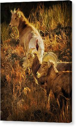 Bighorn Sheep Digital Painting Canvas Print by Priscilla Burgers