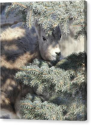 Canvas Print featuring the photograph Bighorn Sheep Lamb's Hiding Place by Jennie Marie Schell