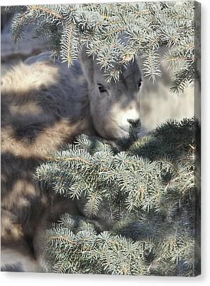 Bighorn Sheep Lamb's Hiding Place Canvas Print