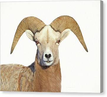 Canvas Print featuring the photograph Bighorn Sheep Ram by Jennie Marie Schell