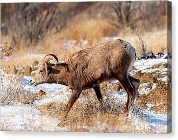 Bighorn Sheep Canvas Print - Bighorn Stare by Mike Dawson
