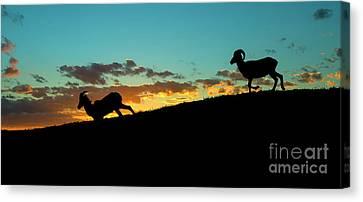 Bighorn Sheep Canvas Print - Bighorn Sunset by Mike Dawson