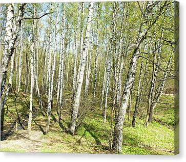 Birch Forest In Spring Canvas Print by Irina Afonskaya