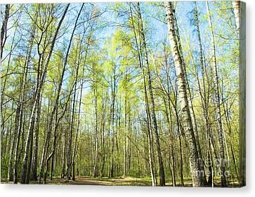 Birch Forest Spring Canvas Print