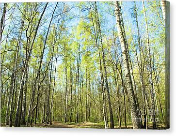 Birch Forest Spring Canvas Print by Irina Afonskaya