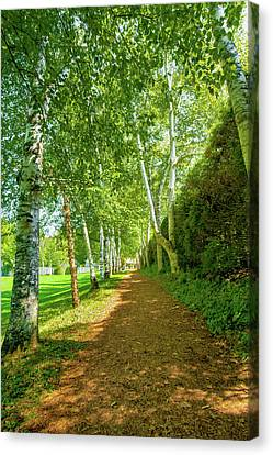 Birch Gauntlet Canvas Print by Greg Fortier