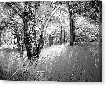 Birch In The Tall Grass Canvas Print