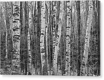 Birch Stand Canvas Print
