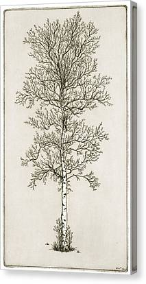 Birch Tree Canvas Print by Charles Harden